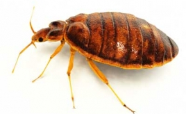 Bed bugs: They're ba-aack!