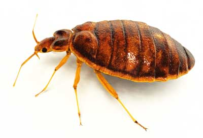 Bed Bugs They Re Ba Aack Pets Parasites The Pet