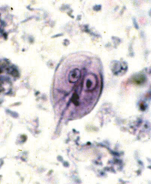 giardia and coccidia in humans