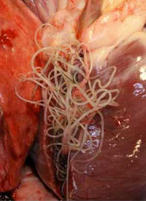 Heartworms | Pets & Parasites: The Pet Owner's Parasite Resource