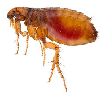 Fleas | Pets & Parasites: The Pet Owner's Parasite Resource